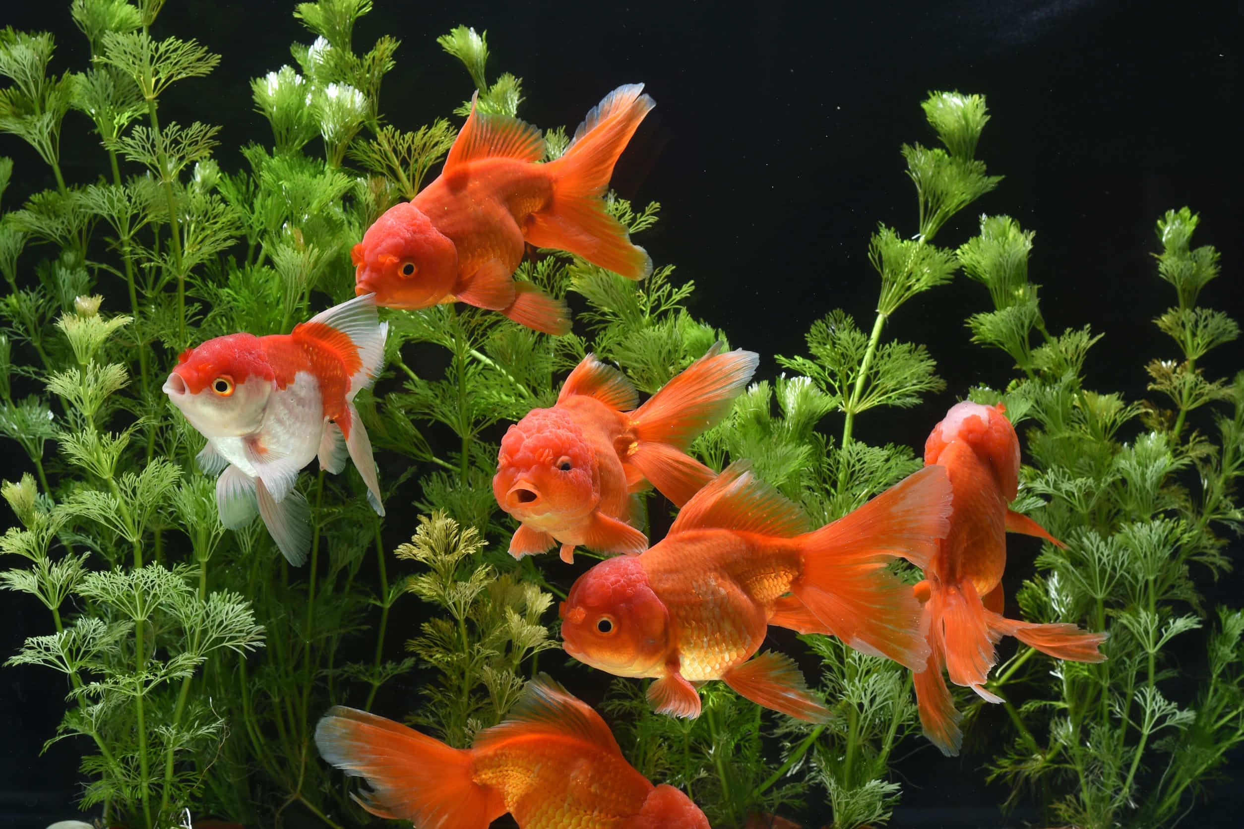 金魚を塩浴させる時の水換えの方法やポイント、注意点をご紹介